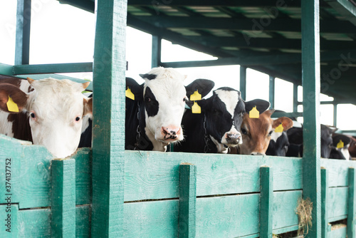 herd of spotted cows with yellow tags near in cowshed Fototapeta
