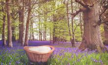 Bluebells In A Woodland Settin...