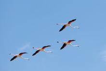 Flamingos Flying In Delta Del ...