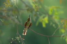 Green Woodpecker On A Branch