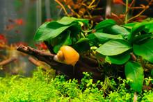 Apple Snail In Aquarium
