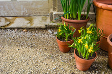 Terracotta Pots Filled With Mini Yellow Daffodils In A Spring Garden