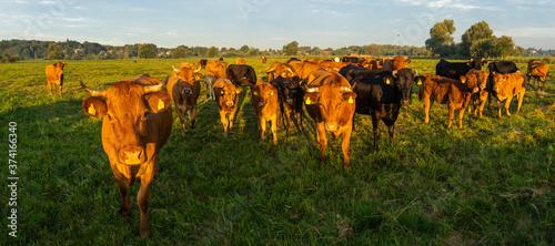 Valokuvatapetti herd of beef cattle on a summer pasture