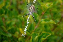 Steelers Spider In Garden. Poland