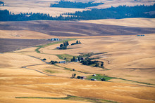 Rolling Fields Of Wheat In The...