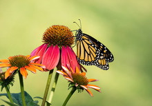 Newly Emerged Monarch Butterfly (Danaus Plexippus) On Red Coneflowers. Natural Green Background With Copy Space.