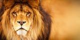 Fototapeta Sawanna - African male lion headshot looking into camera