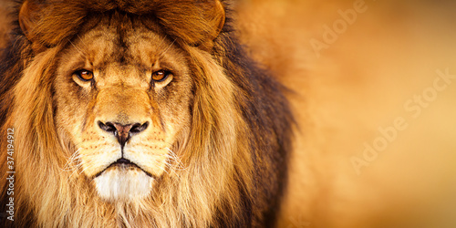 African male lion headshot looking into camera