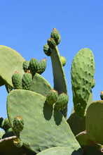Green Prickly Pear Is Growing Outdoors Against A Blue Sky And Still Unripe Green Prickly Pears Are About To Be In Portrait Format