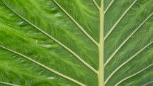 A Green Vein Leaf As A Nature Background Macro.