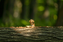 Eastern Chipmunk Eats Nuts In ...