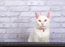 White Khao Mane Cat Wearing A Pink Collar With Bell, Sitting In Front Of A Black Computer Keyboard Looking Towards Viewer As If Watching The Monitor. Grey Brick Wall Background With Copy Space.