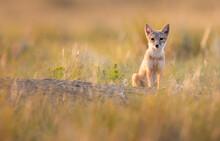Endangered Swift Fox In The Wild