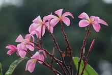 Rose Fragant Plumeria Flowers
