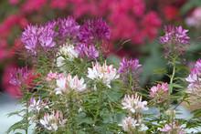 Beautiful Blooming Pink Honeysuckle Bush At Nature