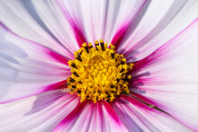 Macro Mexican Aster Or Pink Co...