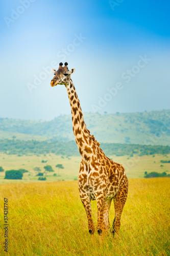 A giraffe in wild nature, Kenya, Africa Wall mural