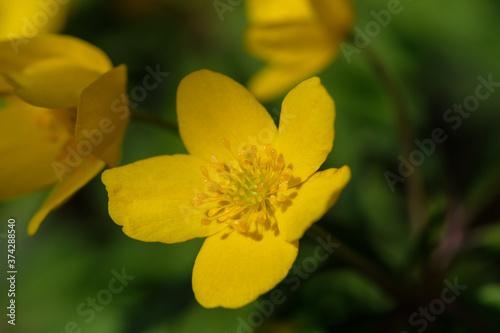 Fototapeta Makro der Blüte der seltenen Wildblume Gelbes Windröschen (lat.: Anemone ranunculoides) im Frühling obraz na płótnie