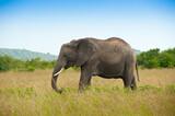 Elephant in savanna, wild nature, Kenya, Africa