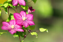Pink Clematis On A Green Backg...