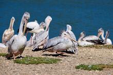 Pelikane Lassen Sich In Der Sonne Trocknen
