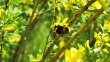 Bumblebee Pollinates An Acacia...
