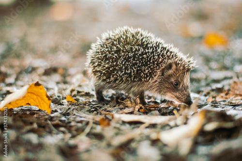 Fotografiet hedgehog in the forest