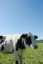 Black White Cow Sideways In Front Of Blue Sky On A Green Meadow