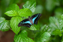 Common Jay Butter Fly