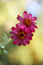 Macro Of Pink Zinnia Single Pe...