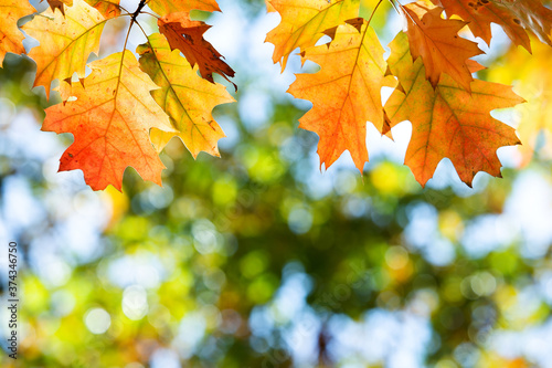 Obraz na plátně Close up of bright yellow and red maple leaves on fall tree branches with vibrant blurred background in autumn park