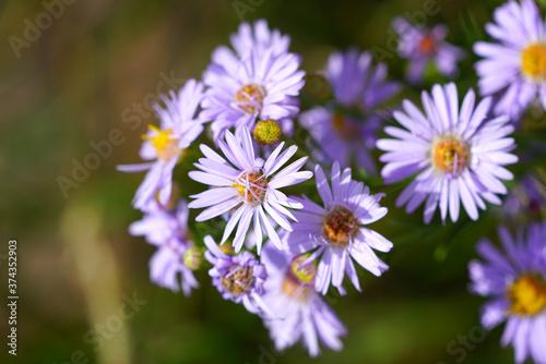 Fotografia, Obraz Purple aster wild flowers in bloom in Grand Teton National Park