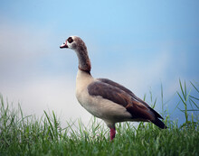 A Single Egyptian Goose With B...