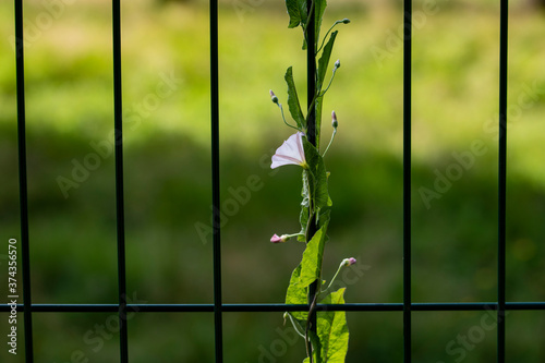 Obraz na plátně a light flower entwined a green fence