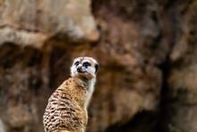 Meerkat Survey His Domain. Auckland Zoo, Auckland, New Zealand