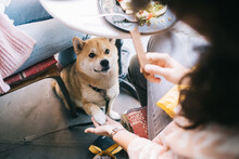 Cropped Image Of Lovely Akita Inu Putting Paw In Hand Of Girl Waiting For Food In Pet Friendly Cafe Interior, Beautiful Japanese Dog Sitting Under Table With Women During Break On Luch Looking At Food