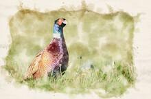 Ringneck Pheasant (Phasianus C...