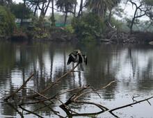 Indian Cormorant Or Indian Shag Or Phalacrocorax Fuscicollis At Keoladeo National Park Or Bird Sanctuary Bharatpur Rajasthan India