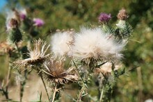 Cirsium Thistle Plant With White Fluff.