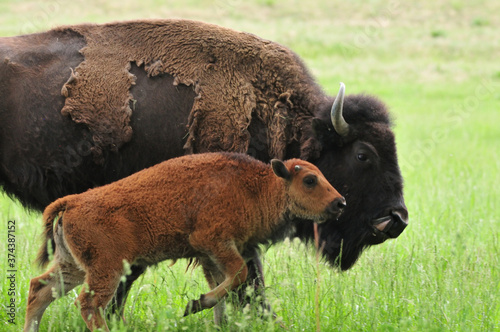Bison with calf on a field of grass Tableau sur Toile