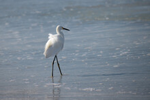 Snowy Egret Walking In Water Along Shoreline At Beach With The Wind Ruffling Its Feathers