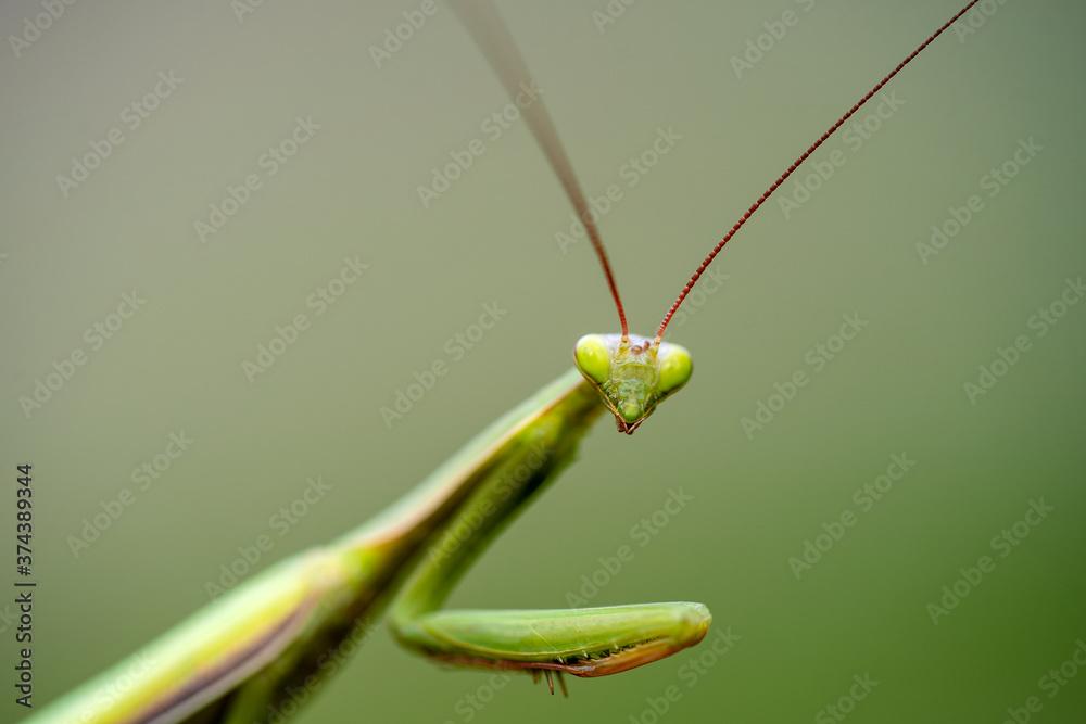 Macro of female european mantis or praying mantis, mantis religiosa. Green praying mantis
