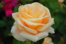 Light Breaks Through The Bud Of A Delicate Orange Rose