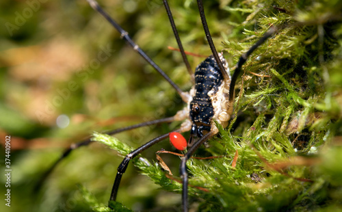 Macro shot of forest spider with parasitic mite on his body. Fototapeta