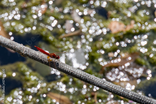Red-veined darter or nomad (Sympetrum fonscolombii) resting on rope at Lake Iseo Wallpaper Mural