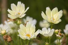 Garden Cosmos ( Cosmos Bipinnatus Cav.) Flowering In A Garden In Bergamo
