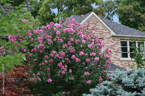 garden of house with Rose of Sharon bush in bloom Wallpaper Mural