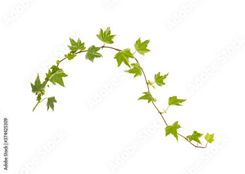 Fotografija ivy isolated on a white background.