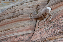 A Young Bighorn Sheep Climbs Down On Precarious Rock In Zion National Park.