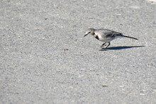 A Small Wagtail Poses For A Photographer On The City Sidewalk.